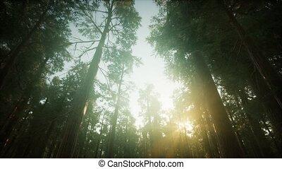 forêt, brumeux, paysage, séquoia, coucher soleil