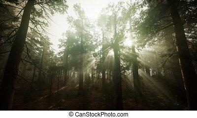 forêt, brumeux, séquoia, paysage, coucher soleil