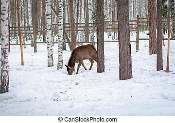forêt, cerf, hiver, chevreuil