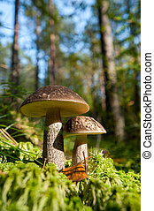 forêt, champignon