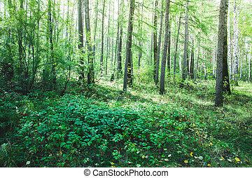 forêt, dans, les, commencement matin