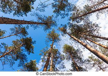 forêt dense, arbres, pin