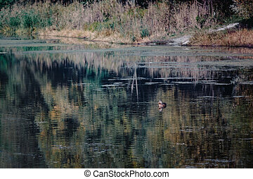 forêt, lac, canards, paysage, automne, yellow-orange-red, nager