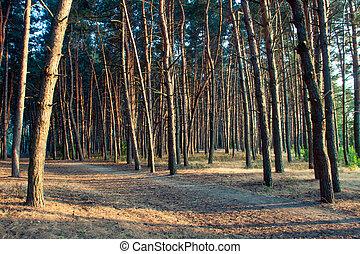 forêt, lumière soleil, pin