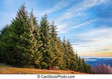 forêt pin, dans, transylvania