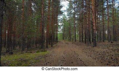 forêt, pin, grand, arbres, russie, piste, désert, area., par