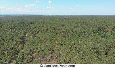 forêt, pin, grand