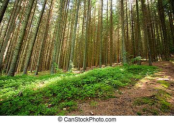 forêt, pin