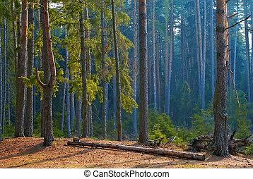 forêt, pin, matin