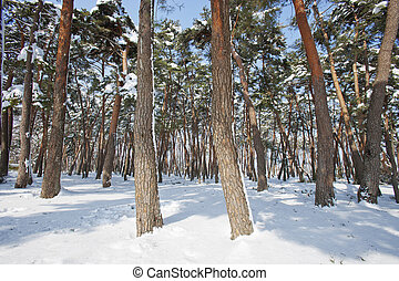 forêt, pin, neigeux