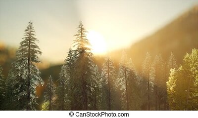 forêt, rayons soleil, pin, chaud, levers de soleil