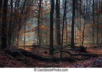 forêt, rayons, troncs, feuilles, soleil, entre, couvert, automne, arbre, terrestre
