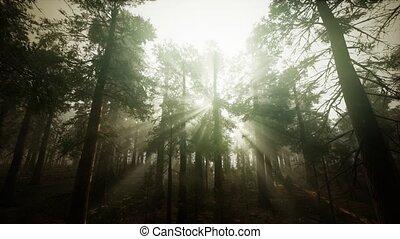 forêt séquoia, brumeux, coucher soleil, paysage