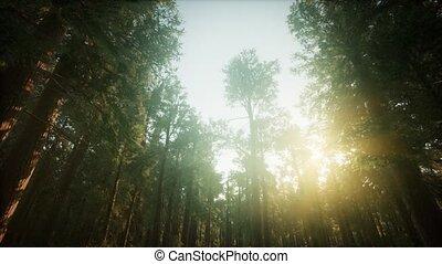 forêt, séquoia, coucher soleil, brumeux, paysage