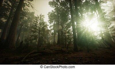 forêt séquoia, coucher soleil, brumeux, paysage