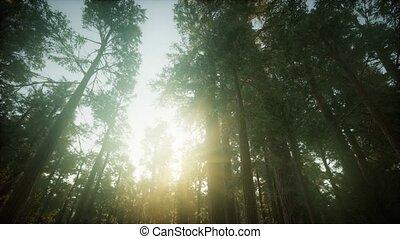 forêt séquoia, coucher soleil, paysage, brumeux