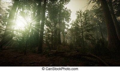 forêt séquoia, paysage, coucher soleil, brumeux