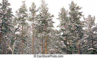 forêt, sous, hiver, pin, neige