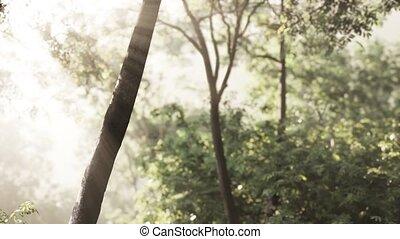 forêt, tôt, brumeux, matin