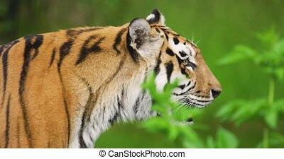 forêt, tigre, gros plan, collage