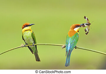 Chestnut-headed Bee-eater - For our chicks, beautiful of ...
