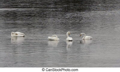 Whooper Swans on migration stop-over. For birds in flock is characterized by uniformity of behavior. Mass preening