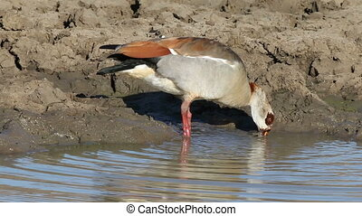 Foraging Egyptian goose - An Egyptian goose (Alopochen...