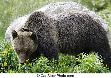 Grizzly Bear - Foraging Grizzly Bear in spring, Yoho ...