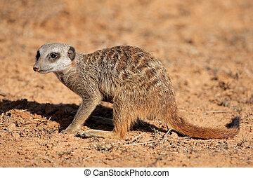 Foraging meerkat