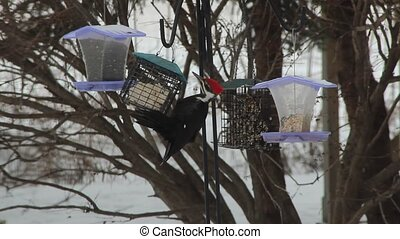 Foraging Pileated woodpecker - A Pileated woodpecker...
