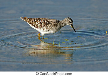 Foraging Ruff - A Ruff (Philomachus pugnax) foraging in...