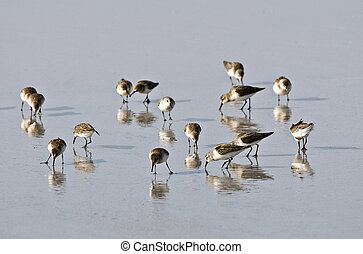 A small flock of sandpiper birds search for food at low tide