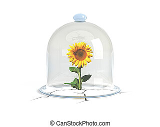 A glass dome covers the sunflower, which overcame all obstacles, struck the ground and raised! Protect the environment!