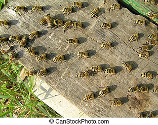 Bees create forced-circulation of beehive. Lined up them one-way and wave wings.