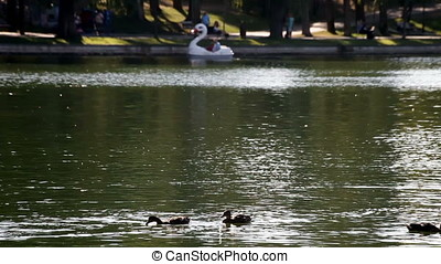 Foreground Group of Ducks Background Swan Paddle Boat -...