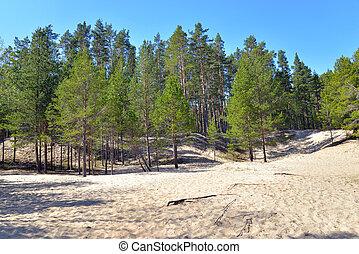 forest., árbol, pino