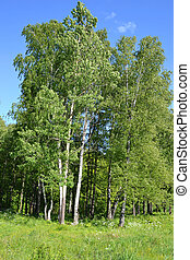 forest., קיץ, עצים
