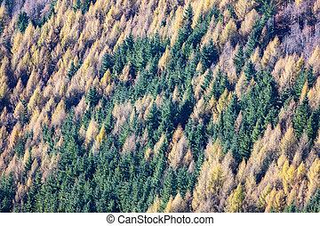 forest., カラマツ, 航空写真, 松, 光景