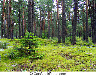 forest., abetos, jovem, pinho
