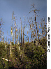 Forest after fire, burned forest