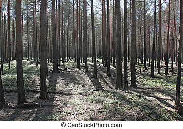 Forest after fire