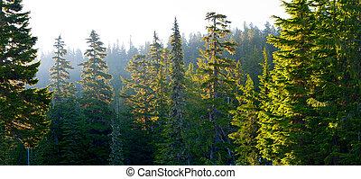 Forest at Mount Rainier National Park at sunrise, Washington State, USA