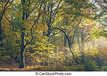 forest., autunno, raggio, nebbioso, luce