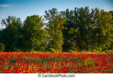 forest behind the poppy field. lovely nature scenery in...