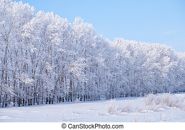 Forest belt of poplar trees under hoarfrost in snow field in winter season. Altai, Siberia, Russia