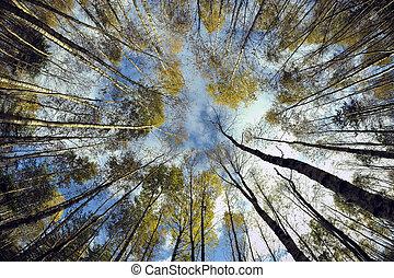 forest., céu, vidoeiro
