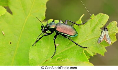 Forest caterpillar hunter (Calosoma sycophanta) eating