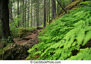 Forest - Chilkoot Gold Mine Trail, Alaska, USA - Chilkoot...