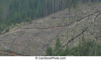 Forest Clearcut Logging Area - A deforested fir forest area...