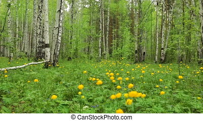 Forest clearing with wild yellow flowers